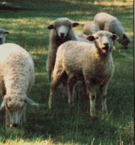 sheep.jpg (35275 bytes)